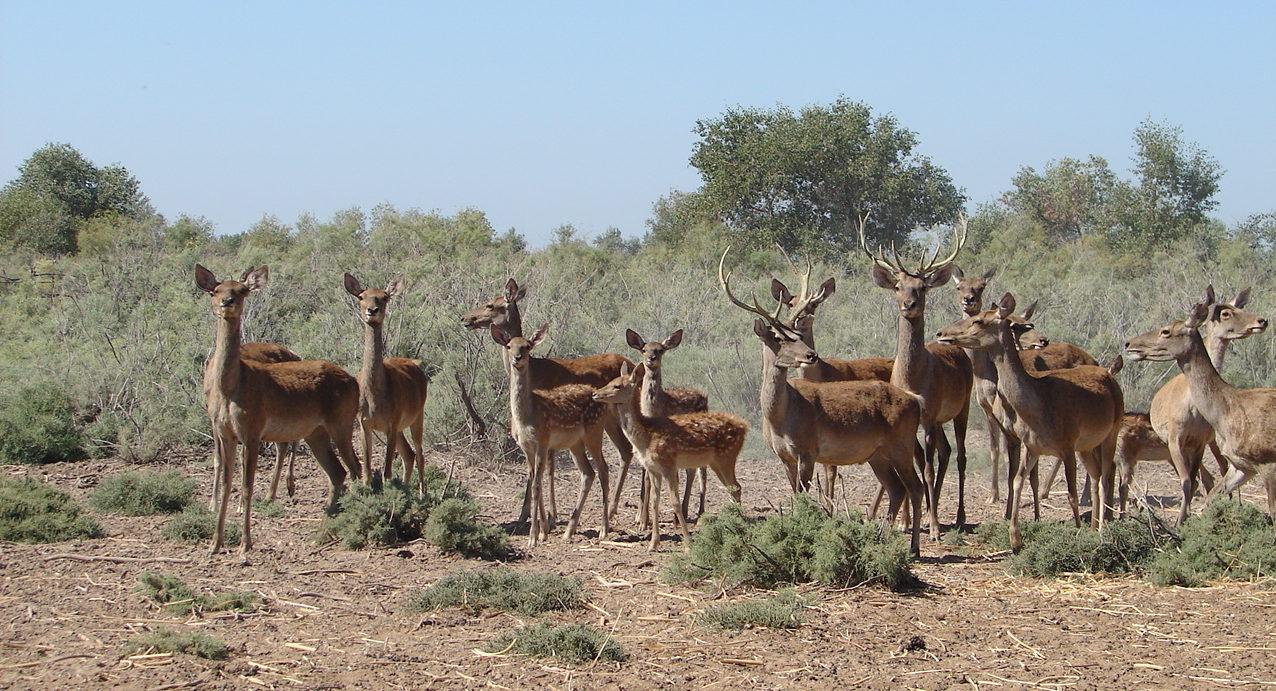 Бухарский олень.